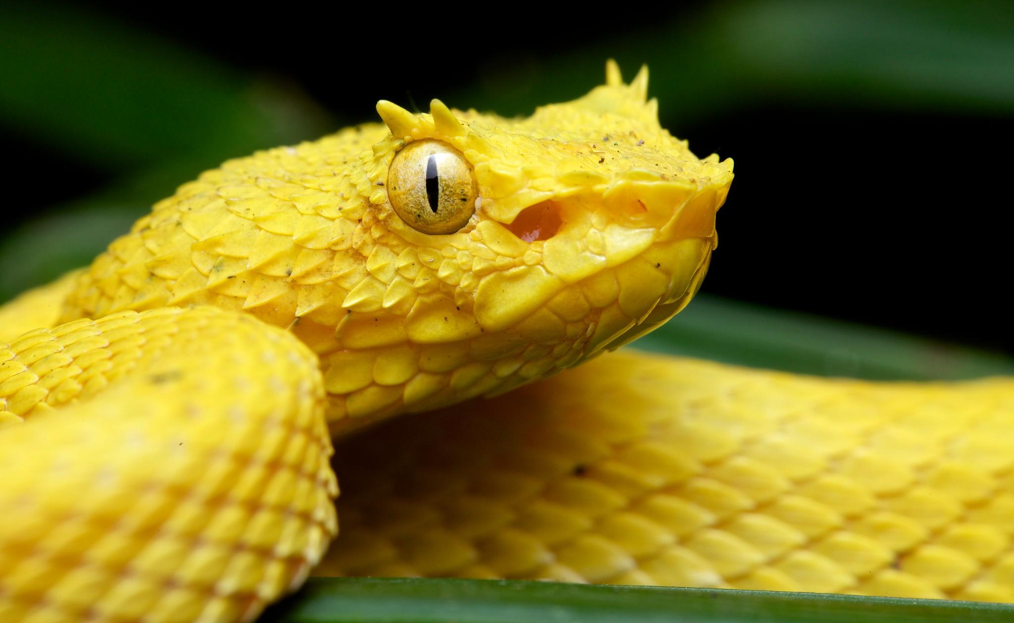 Yellow eyelash pit viper (Bothriechis schlegelii)
