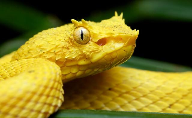ea57a4e6567 Golden eyelash pit viper (Bothriechis schlegelii) photographed in La Selva  biological reserve