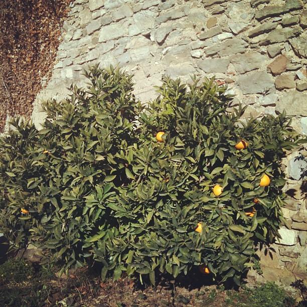 Un oranger dans mon jardin