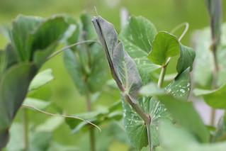 Pea Seedlings 'Shiraz'
