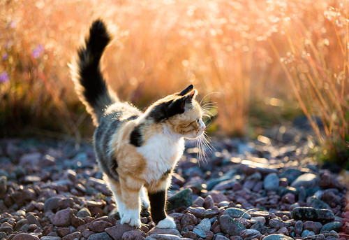 Calico cat by Ulf Bodin