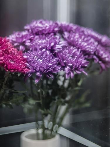 blue chrysanthemum -1