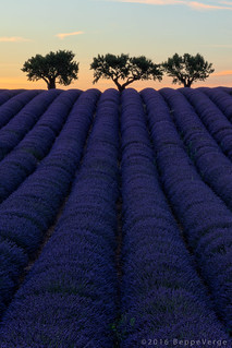 Provence - Valensole