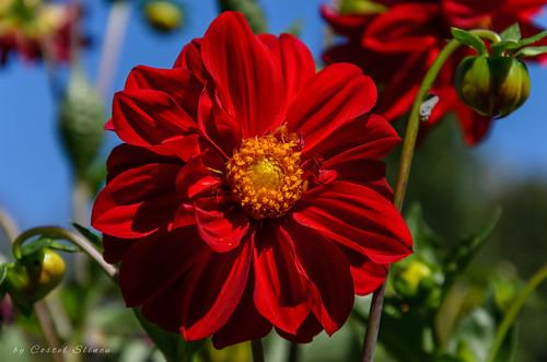 flower nature redflowers summer