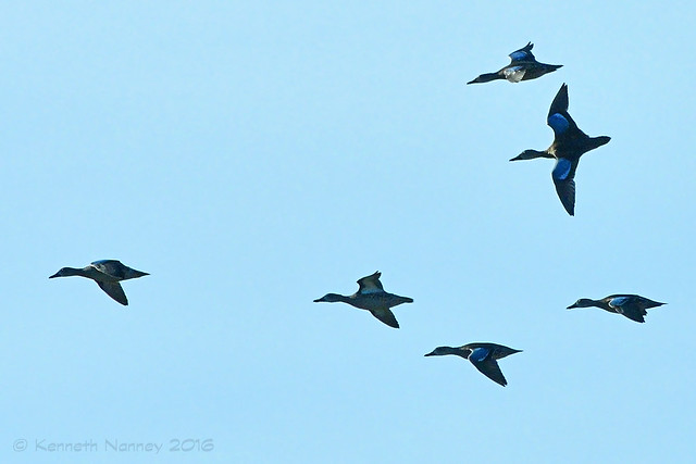 BLUE-WINGED TEAL 26