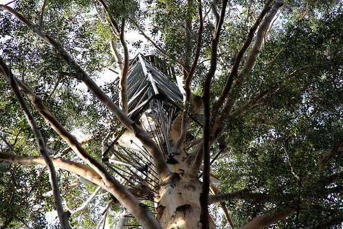 Pemberton - Gloucester Tree - The Camera Climbs (Zooms) To The Top
