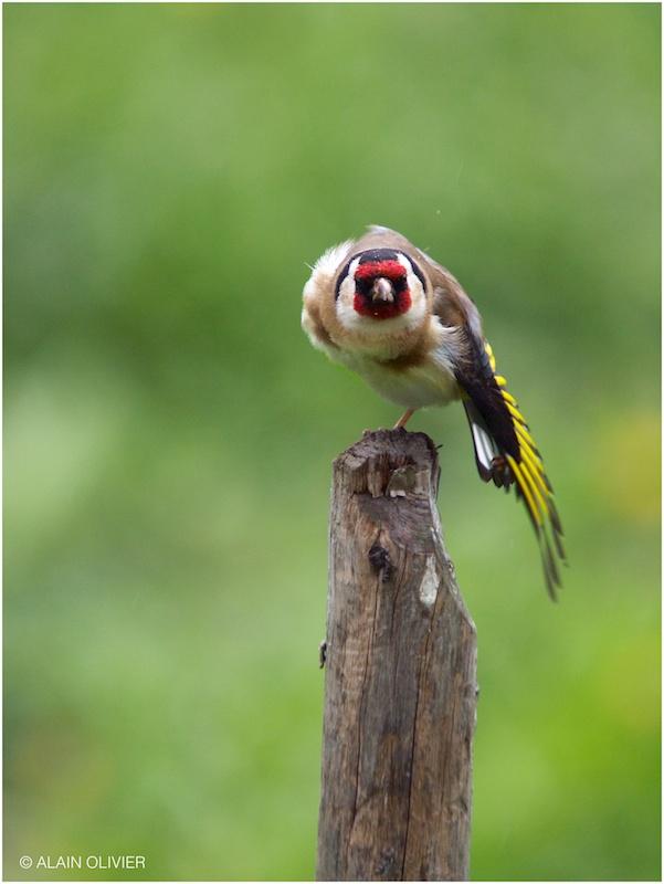 Chardonneret élégant - Carduelis carduelis - European Goldfinch 8714929070_f48332cb2b_c