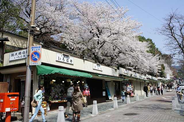 San-jyo sakura
