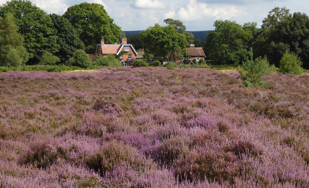 Heather, Albury Heath, Surrey Guildford Circular via Albury Heath walk