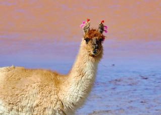 Llama, Laguna Colorada, Bolivia
