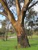 Wet bark on a gum tree