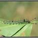 Nica flavilla - Nymphalidae by wolfwalz