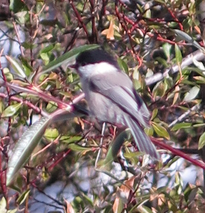 Willow Tit; 20161012; CH-GR-Morteratsch