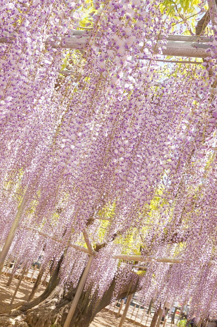 140 year-old wisteria