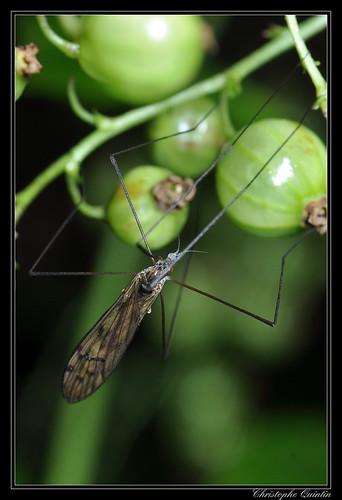 Dactylolabis sexmaculata
