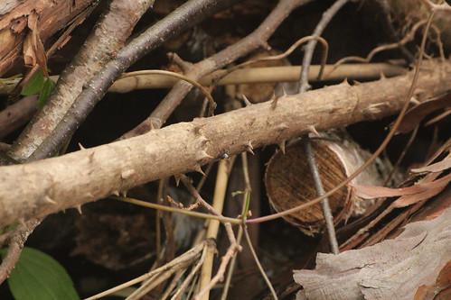 ネジロカミキリのいた枝