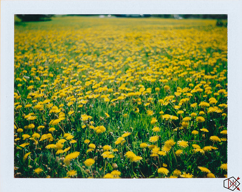 flowers flower polaroid weeds michigan dandelion dandelions cheboygan ee100special