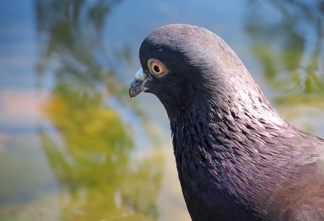 Tamduva / Domestic Pigeon