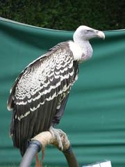 Birds of Prey at Hampton Court Castle, Herefordshire