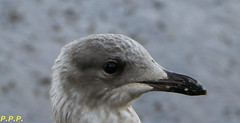 HolderYoung Gull - Head shot
