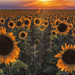 A Sunflower Greeting by Luis Arturo Ramirez