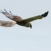 Eurasian Marsh-Harrier (Circus aeruginosus) Brun kärrhök