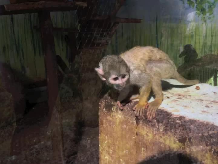 Rescue Monkeys - Peru