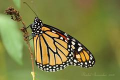 Monarch roosting
