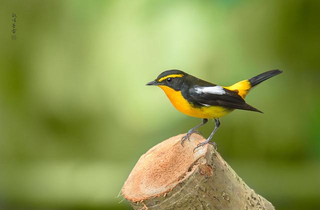 黃眉黃鶲♂ (Narcissus Flycatcher)
