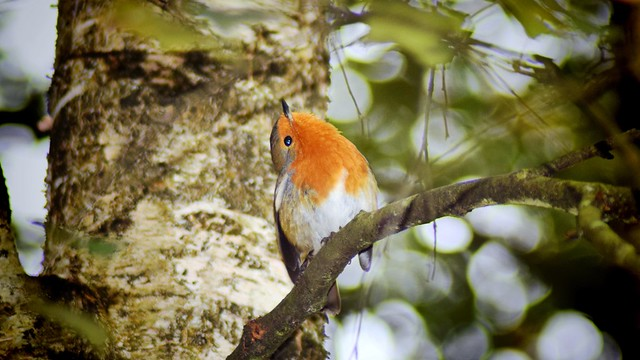 The Playful Robin