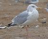 Herrting Gull (adult cycle)