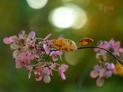 pink hydrangea bokeh