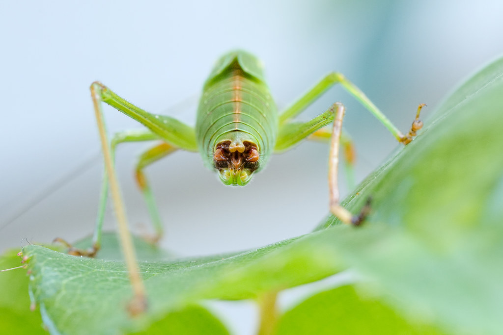 A view from behind of a male fork-tailed bush katydid nymph