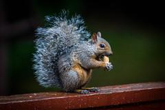 Grey Squirrel eating a peanut in the rain