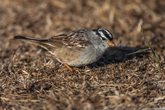 White-crowned Sparrow Feeding on Seeds on Anacapa Island