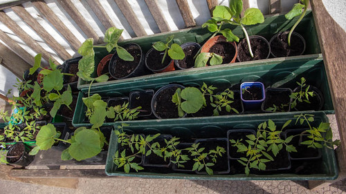 Tomatoe and pumkin nursery