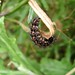 Magpie Moth - Photo (c) Jon Sullivan, some rights reserved (CC BY-NC)