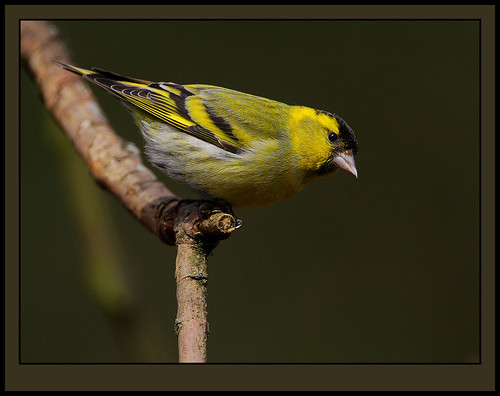 Eurasian Siskin male by Rainbirder