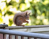 Red Squirrel Double Fence Friday by s0ulsurfing