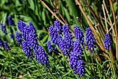 Muscari in Spring; Perlblume im Frühling