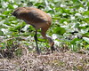 Sandhill Crane Tending to eggs