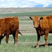 How Now, Brown Cow.    Montana