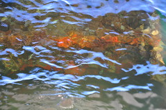 algae, water, sea, fish pond, marine biology, pond,