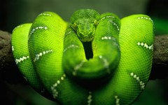 animal, serpent, western green mamba, snake, reptile, organism, macro photography, green, fauna, close-up, scaled reptile,