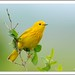 yellow warbler by lindapp57