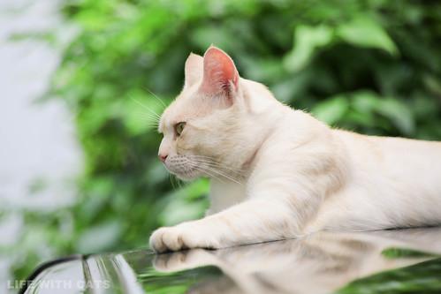 IMG_9235 Cream tabby Japanese cat 薄茶トラ猫