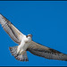 Juv. Osprey @ Cape May NJ by Nikographer [Jon]