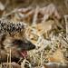 Baby hedgehog by Jean-Luc Peluchon
