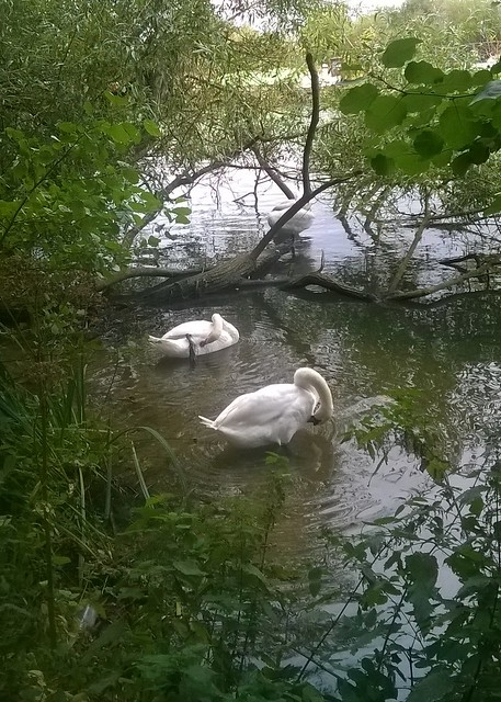 Preening swans by the Thames