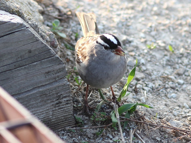 White-crowned Sparrow 20130502